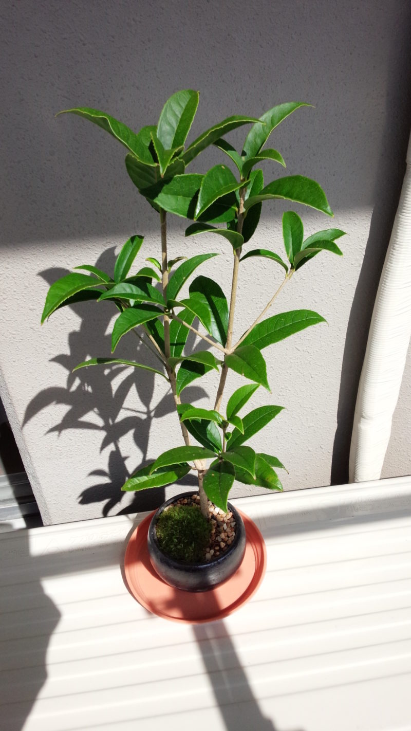 キンモクセイの盆栽
